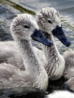 Young Swans Found in Danube Floodplains, protected by Mam and Dad    by Christian Schwarz
