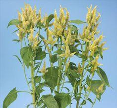 Celosia spicata Yellow