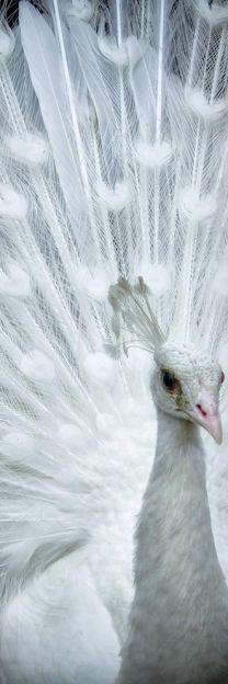 Beautiful white peacock.