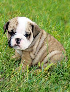 wrinkly cuteness.. bulldog puppy..