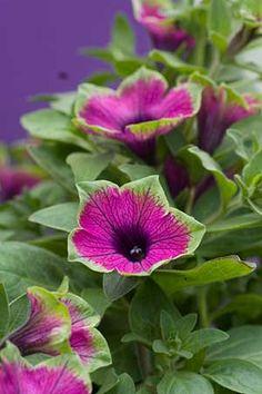 petunia purple/green