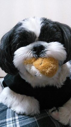 Shihtzu and his toy