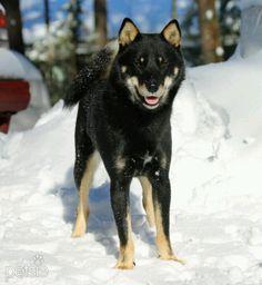 Hokkaido Inu Ainu ken Dog