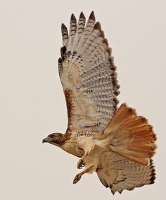 Red-tailed Hawk by E