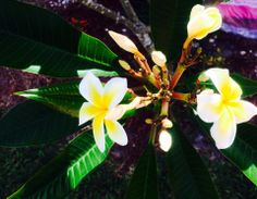 Spring time in Fort Myers, Lee County, Florida. The scent of plumeria is filling the air. (photo by Kirsten Troyer Photography) ~z~4