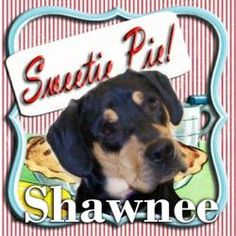 Shawnee is an adoptable Rottweiler Dog in Mechanicsburg, PA. Shawnee has his own page at www.facebook.com/ ShawneesImpawsableJourney There, you can follow the long road this boy has traveled to get to...