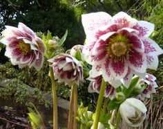 Hellebore--shade plant