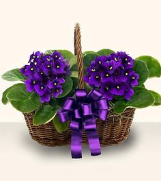 Our Beautiful African Violets