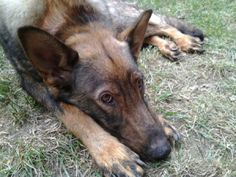 Eden is an adoptable German Shepherd Dog Dog in Fenton, MI. Eden is about two years old and was abandoned at an animal control facility. A really nice person took me home to foster for Adopt-A-Pet and...