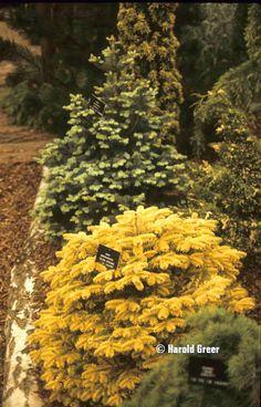 Abies nordmanniana 'Golden Spreader' — DWARF