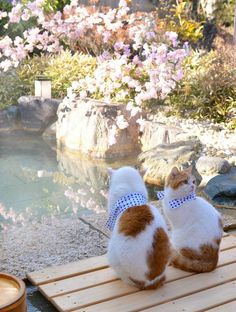 Japanese cats ready to taking a hot spring