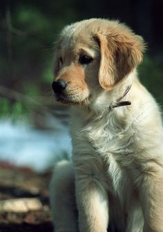 Sadie - Golden Retriever Puppy