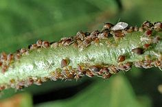 BAD BUG: Aphids. Aphids enjoy eating squash and string beans.  SOLUTION: use a hose with the water on high pressure to knock the aphids off so they can be eaten by other bugs, or use an insecticidal spray.