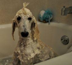 Bucky! wet poodle