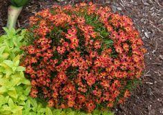 littl penni, daisylik flower, long blooming perennials, flower machin, nova nurseri, pennies, coreopsi littl, terra nova, garden