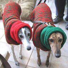 Snuggly greyhounds in sweaters! <3