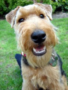 awee i miss my Welsh Terrier