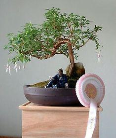 ★☯★ ☽ #Bonsai #Tree or #bonzai ☾ ★☯★