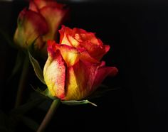 Konfetti Rose