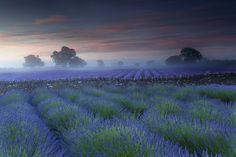 Somerset Lavender  by Antony Spencer