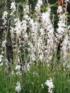 White Gaura-Desert Botanical Garden