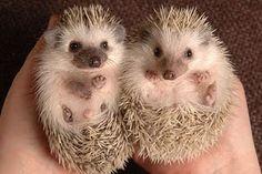 Hedgehogs! D: