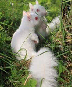 Albino squirrels