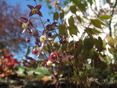 Epimedium rubrum, first flower since I planted it last Spring.