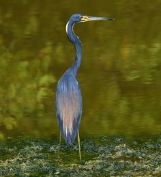 Tricolored heron in the Jamaican mangroves. Photo by Ted Lee Eubanks