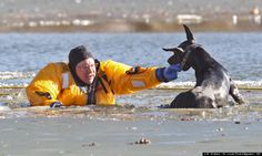 This is what dedication looks like.  2 Fireman save a doberman from the ice.