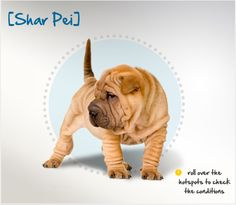 Did you know that most of the U.S. Shar-Pei population originates from around 200 individual dogs imported from China in the 1970s? Read more about this breed by visiting Petplan pet insurance's Condition Checker!