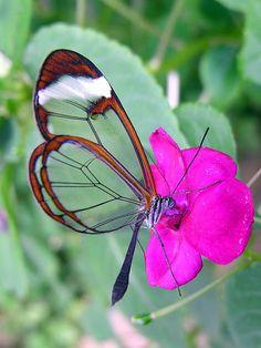 glasswinged butterfly side view