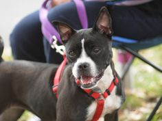 Aunt Tootie: Boston Terrier mix; Fairfax, VA.  Fantastic, loving dog!  Happiest as an only pet.  Major snuggle buddy and will be your best friend forever.  Adores all humans.  Available through muttloverescue.org