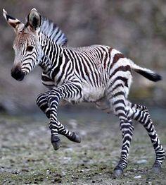baby zebra...