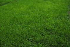 Grass Alternatives - Microclover may also be used on its own for a non-traditional lawn with no grass at all. For this purpose, choose white, or Dutch, clover. It can stand up to occasional mowing, doesn't grow tall, tends to crowd out weeds and is virtually impervious to pet urine.