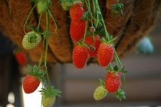 """The hill and matted strawberry planting row system are the two most common methods, while growing strawberries in """"jars"""" and hanging baskets works well for gardeners with limited space. Helpful"""