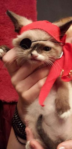 Fall in Love With the World's Cutest Pirate Kitten. Sir Stuffington. The story on the website is great!