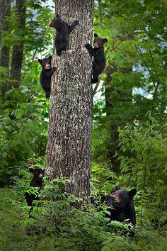 black bear tree!