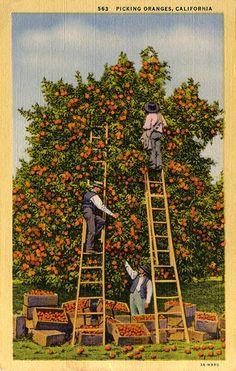 Picking Oranges in California, Vintage Postcard