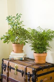 Air cleansing house plants