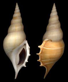 Tibia delicatula