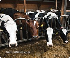 Toxic glyphosate (Roundup) found to be harming dairy cows