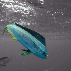 Saltwater fishing, Florida.  Mahi Mahi.
