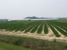 Peanut Farming in Coastal NC