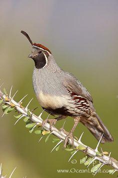 Gambel's quail in ocotillo