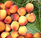 Peaches nutrition facts and health benefits