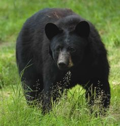 A New Jersey bear. 31 Pictures of Bears: Polar Bears, Panda Bears, Black Bears, Brown Bears, Grizzly Bears.