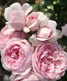 roses on pinterest david austin roses english roses and. Black Bedroom Furniture Sets. Home Design Ideas