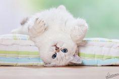 . #kitten #cat #neko #cute