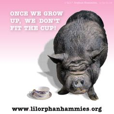 "There is no such creature as a ""Teacup Pig""."